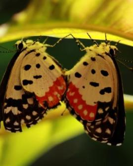 Mating Red Pierrot