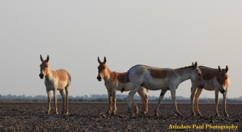 Wild Ass @ Little Runn Of Kutch