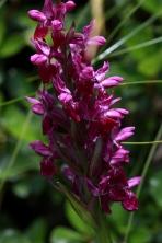 Himalayan Marsh Orchid